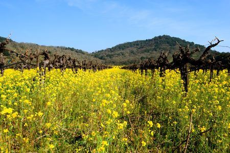 Mosterd groeit tussen wijnstokken in Napa, Californië Stockfoto