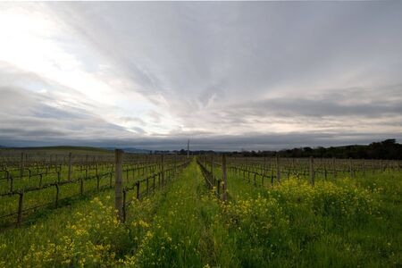 winemaker: Vineyards during winter in Napa Valley California