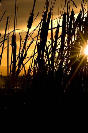 Reeds during sunset