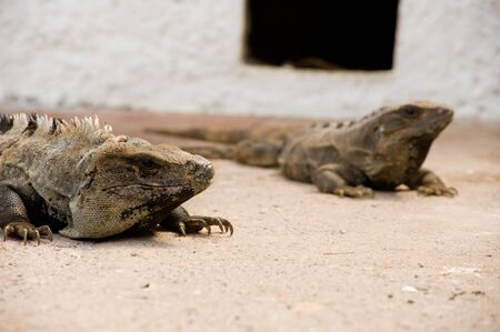 Two Iguanas bathing in the sun