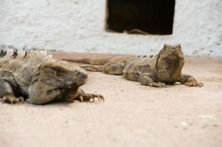 Two Iguanas bathing in the sun photo