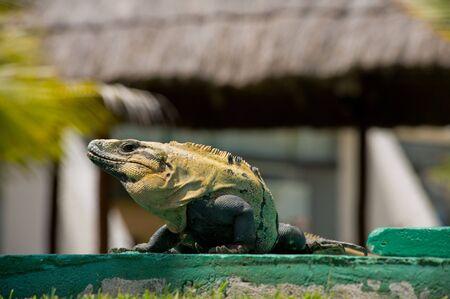 Iguana sunbathing in Cancun Mexico