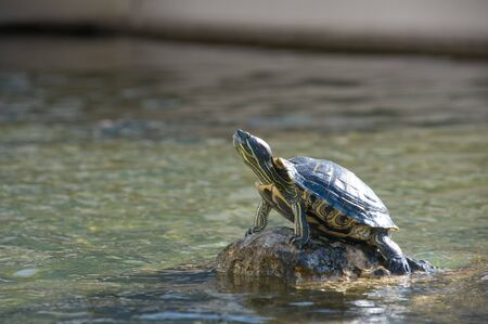 Turtle sunbathing on rock in the middle of a pond Stock Photo