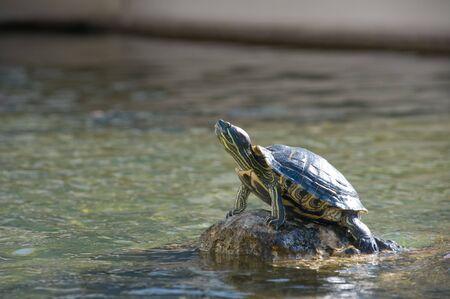 Turtle zonnen op de rotsen in het midden van een vijver