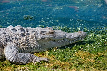 Crocodile laying on boat ramp in Cancun Mexico. On the lagoon side