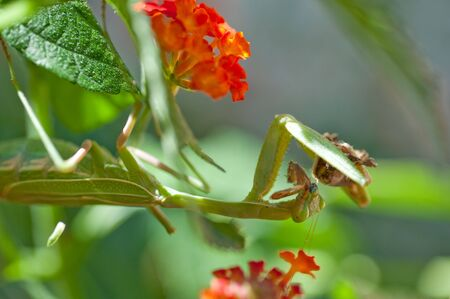 A female Praying Mantis eating a butterfly