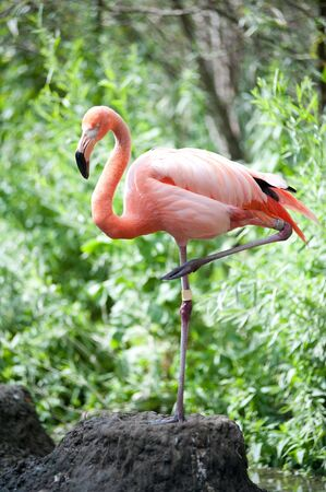 Pink Flamingo standing on one leg in mud