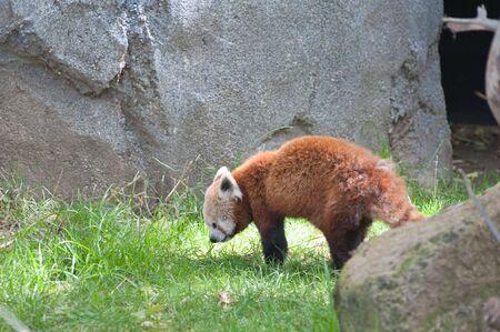 Een Rode Panda roaming rond in het wild