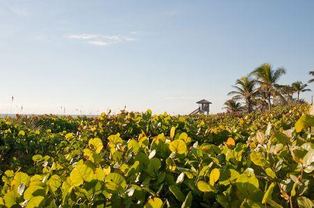 Mangrove struiken op beach in Florida USA