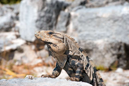 iguana laying out in the sun Stock Photo