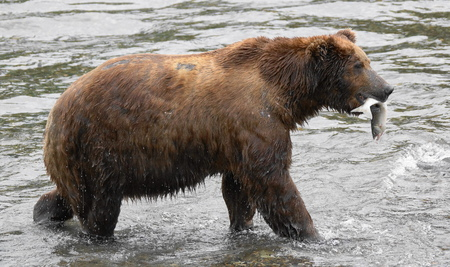 Grizzly bear with salmon on river