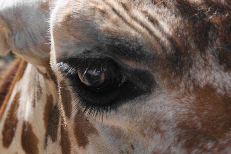 cheyenne: Giraffe Eye Stock Photo