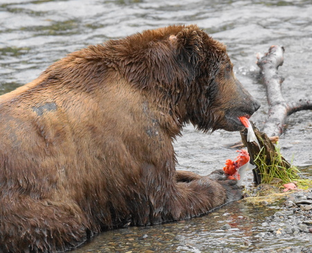 salmon run: Grizzly eating salmon
