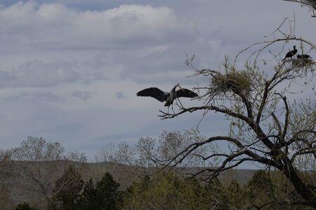 nesting: Cormorants Nesting