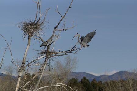 nesting: Blue Herons Nesting Stock Photo