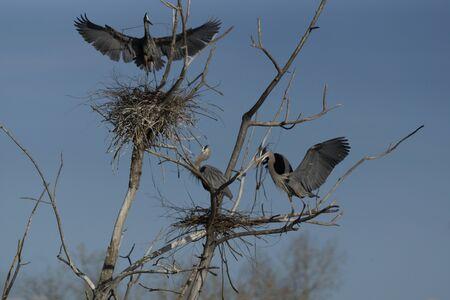 water fowl: Blue Herons Nesting Stock Photo