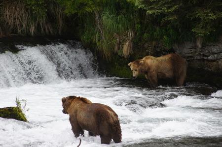 salmon run: Alaskan Grizzly
