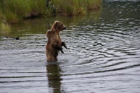 salmon falls: Alaskan Grizzly