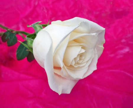 White rose on pink velver background