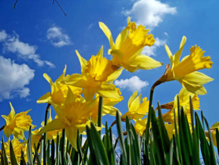 seem: Salute to Spring, yellow jonquils seem to be greeting the morning sun