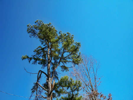 Majestic pine with a broken branch against a clear blue sky