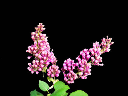 lilac buds on a black background