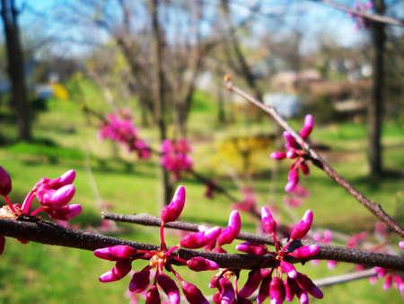 Redbud branch in bloom