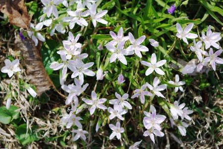 Star of Bethlehem flowers Stock Photo - 4625274