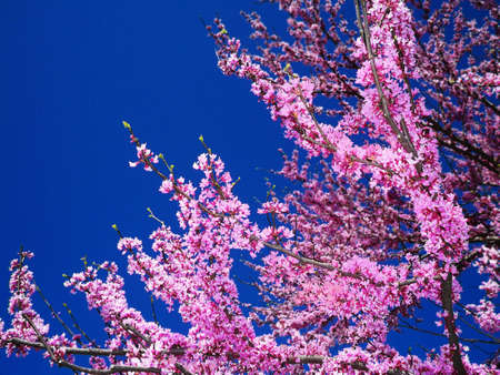 redbud tree: Redbud tree against a blue sky Stock Photo