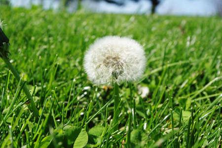 Dandelion in the grass Stok Fotoğraf