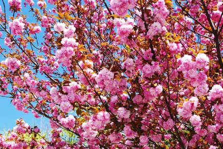 pink peony tree against a blue sky