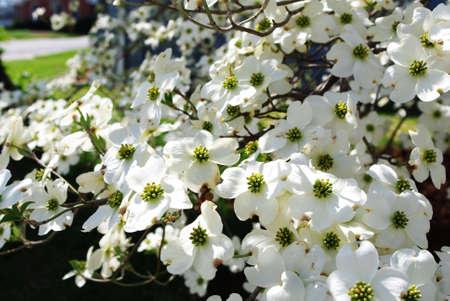 abundant blossoms of white dogwood