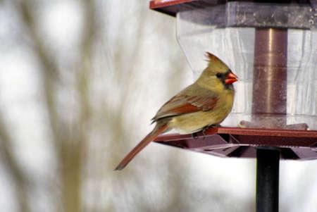 female cardinal: Female Cardinal at a bird feeder Stock Photo