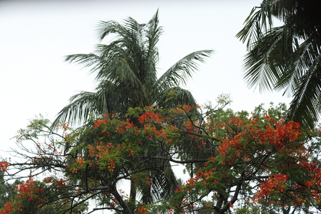 Raining over the flamboyant trees