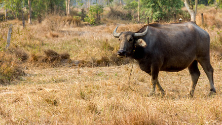 Thailand Buffalo. Buffalo in a field eating dry grass. On the way back home.