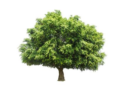 single tree Isolated tree on white background Stock Photo