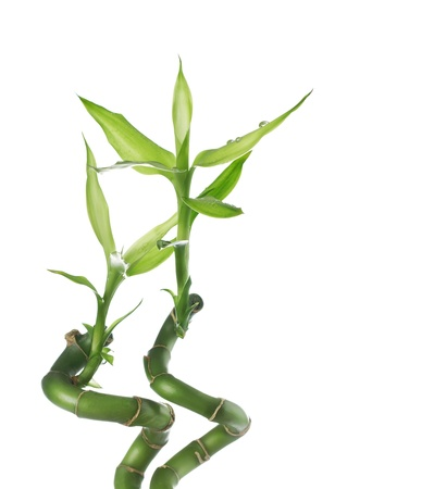 Twisted lucky bamboo isolated on white background with copy space photo