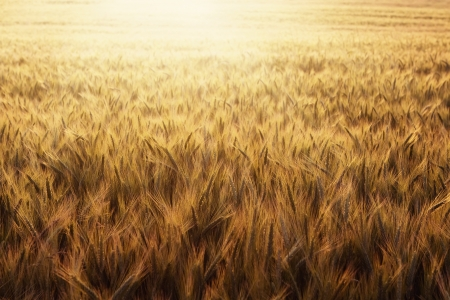 Nature background of wheat field at sunset with copy space photo