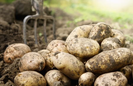 Close up of fresh organic potatoes in the field