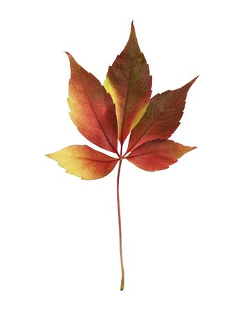 Colorful autumn leaf isolated on white background Stock Photo - 16078767