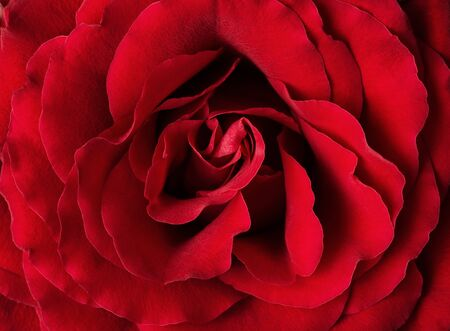 High angle view of of red rose as a background photo