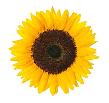 Bliska słonecznika na białym tle z wycinek ścieżki