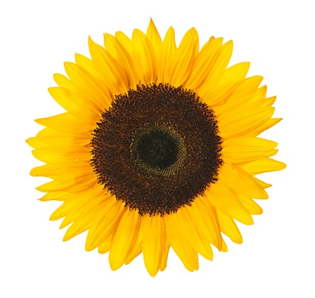 Close up of sunflower isolated on white background