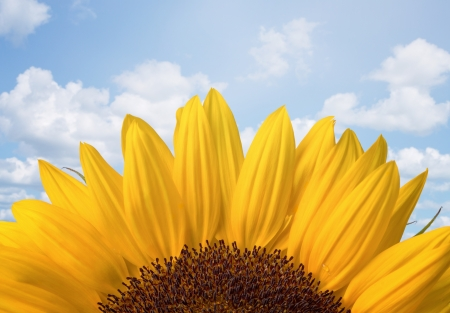 Close up of sunflower over cloudy sky with copy space Stock Photo - 21383867