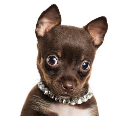 かわいい小さなチワワの子犬は、白い背景で隔離のクローズ アップ