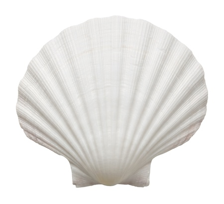 scallop shell: Close up of ocean shell isolated on white background