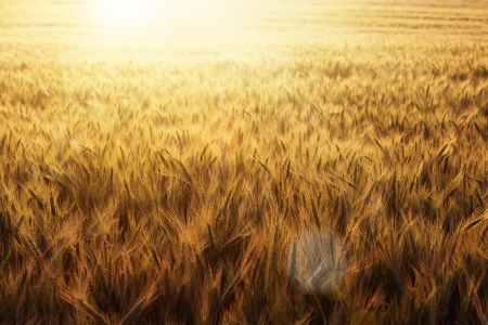 Wheat field at the sunset with copy space