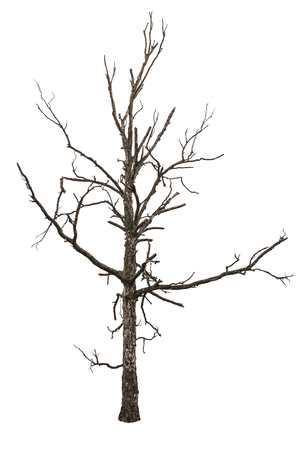 Close up of dead tree isolated on white background photo