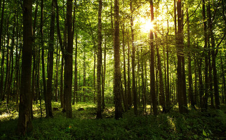 Sun shining through the trees in the forest photo
