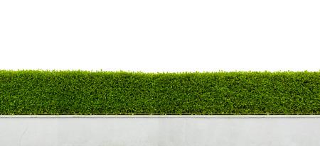 흰색 배경에 고립 된 아름 다운 헤지 울타리의 파노라마보기